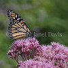 Monarch Butterfly on 'Gateway' Joe Pye Weed 1
