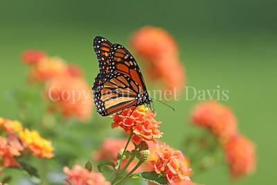 Monarch Butterfly on Lantana 3
