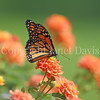 Monarch Butterfly on Lantana 3