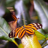 Tiger Butterfly Courtship
