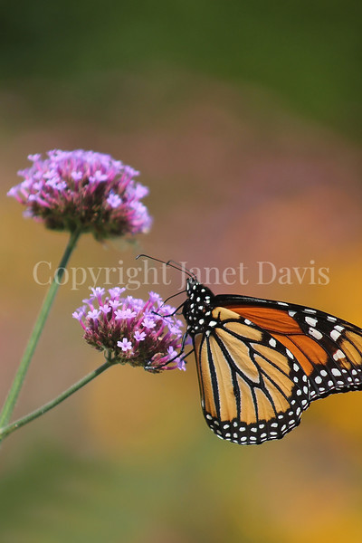 Monarch Butterfly on Tall Verbena 2