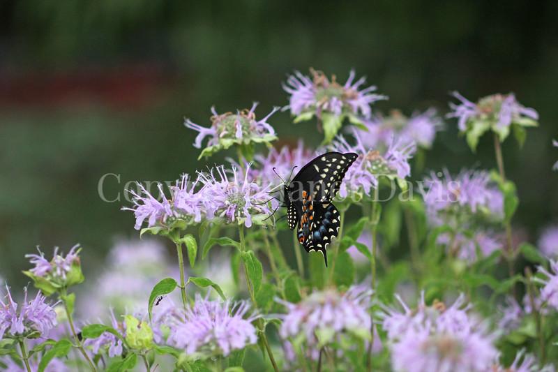 Black Swallowtail Butterfly on Wild Beebalm 1