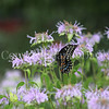 Black Swallowtail Butterfly on Wild Beebalm 1