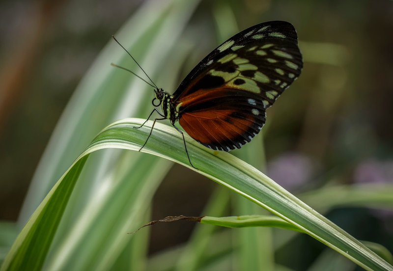 Hecales Longwing Butterfly