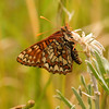 Checkerspot <br /> Euphydryas chalcedona