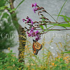 Monarch Butterfly on New York Ironweed 1