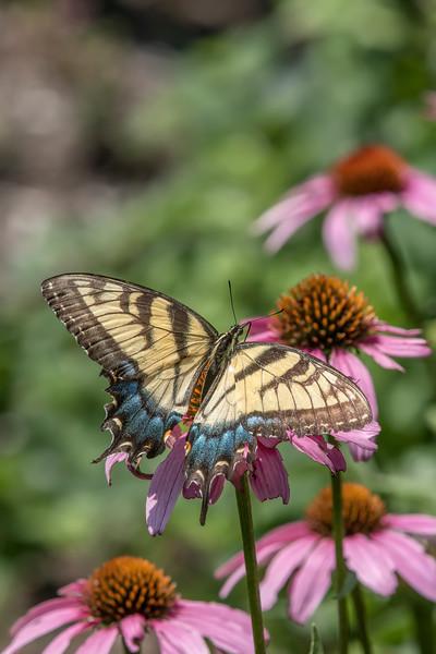 Butterfly E4A6290