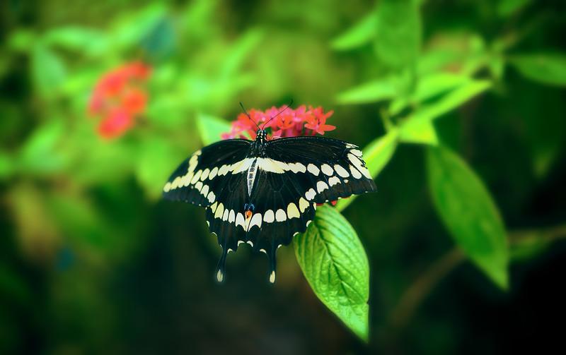 Butterfly-100.jpg