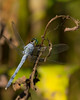 blue dragonfly-1