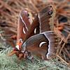 Ceanothus Silkmoth (Hyalophora euryalus)
