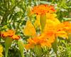 sulphur marigolds-1