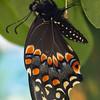 butterfly  911
