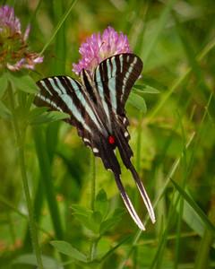 Zebra Swallowtail, dorsal view