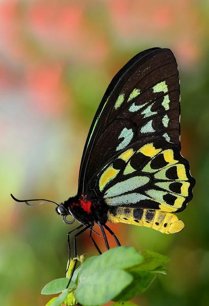 Butterfly - Green Birdwing
