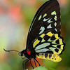 Butterfly - Green Birdwing