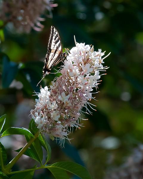 Western yellow swallowtail
