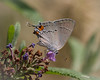 hairstreak-1