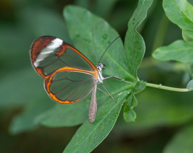 Butterfly with orange and translucent wings on a leaf