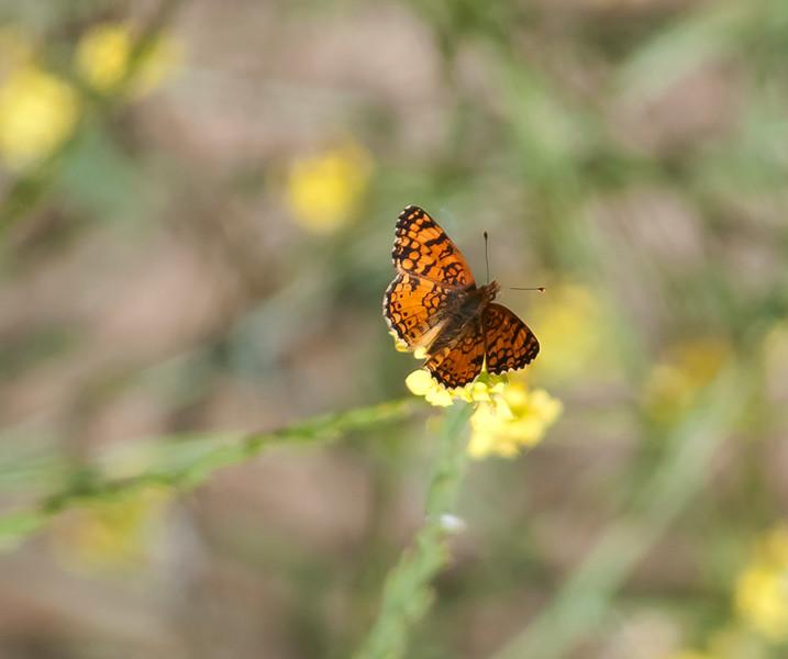 Mylitta crescent