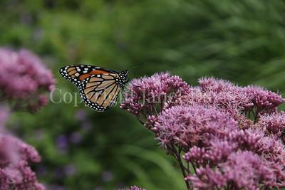 Monarch Butterfly on 'Gateway' Joe Pye Weed 4