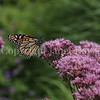 Monarch Butterfly on 'Gateway' Joe Pye Weed 4