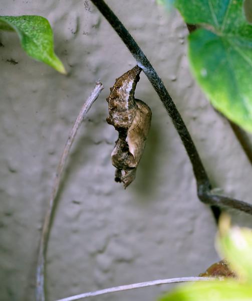 Gulf fritillary chrysallis
