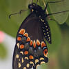 butterfly   1411