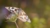 Marbled White / Melanargia galathea / Dambordje (♀)
