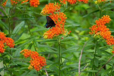 Pipevine Swallowtail in Butterfly Weed