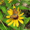 Pearl Crescent Butterfly on Blackeyed Susan