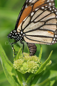 Monarch Butterfly Ovipositing on Butterfly Milkweed 1