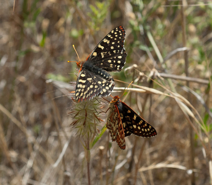 Variable checkerspot  (Euphydryas chalcedona)