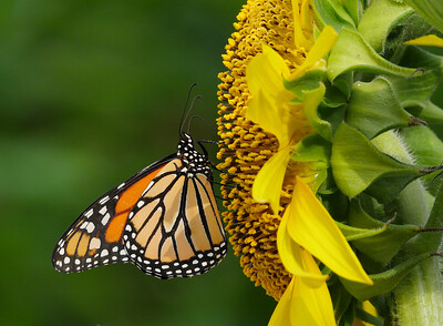 monarch butterfly + sunflower
