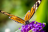 Tiger Longwing (Heliconius ismenius) on purple butterfly bush.