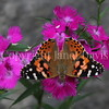 Painted Lady Butterfly on China Pinks 1