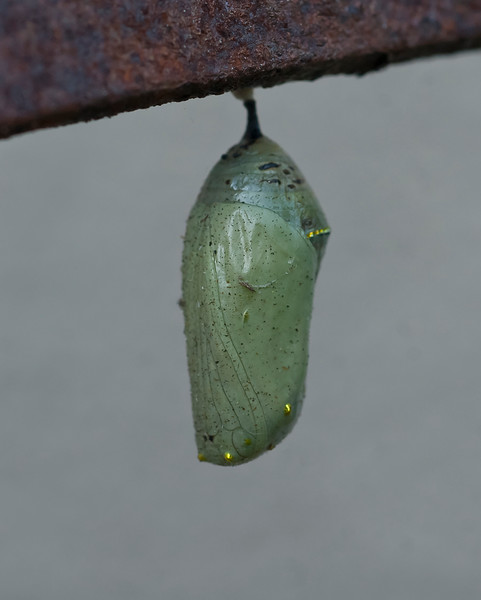 Monarch butterfly chrysallis