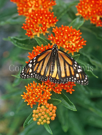 Monarch Butterfly on Butterfly Milkweed 3