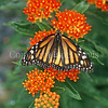 Monarch Butterfly on Butterfly Milkweed 3