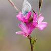Mission Blue Butterfly (Icaricia icarioides missionensis)