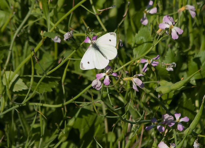 Cabbage white butterfly and beetle on wild radish