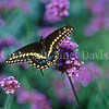 Black Swallowtail Butterfly on Tall Verbena 2