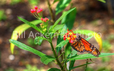 Monarch and Flowers
