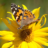 Painted Lady with Probiscus in Sunflower