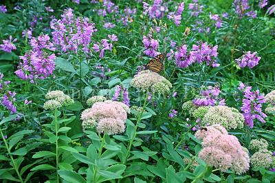 Monarch Butterfly on Sedum 'Autumn Joy' 2
