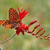Great Spangled Fritillary Butterfly on Crocosmia