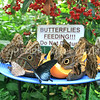 Butterflies Feeding on Sliced Fruit