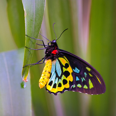 Cairn's Birdwing butterfly