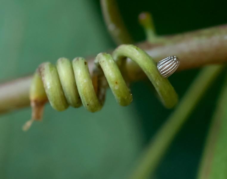 Fritillary butterfly egg