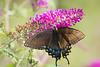 swallowtail female ---1