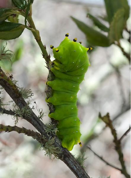 Ceanothus silkmoth caterpillar